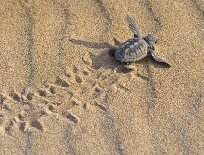 شاطئ السلاحف
