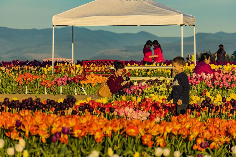 مهرجان زهرة التوليب في تركيا