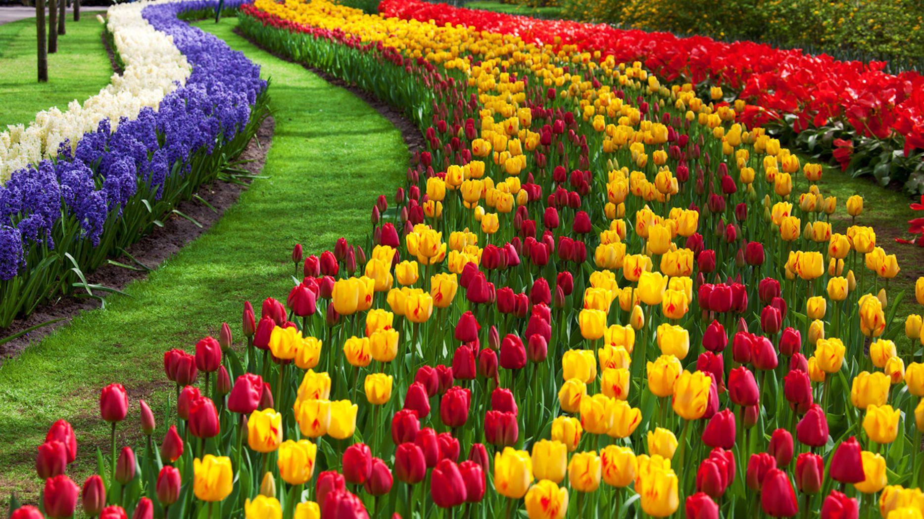 زهور التوليب في تركيا