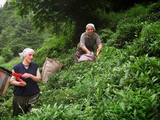 الزراعة في غازي عنتاب