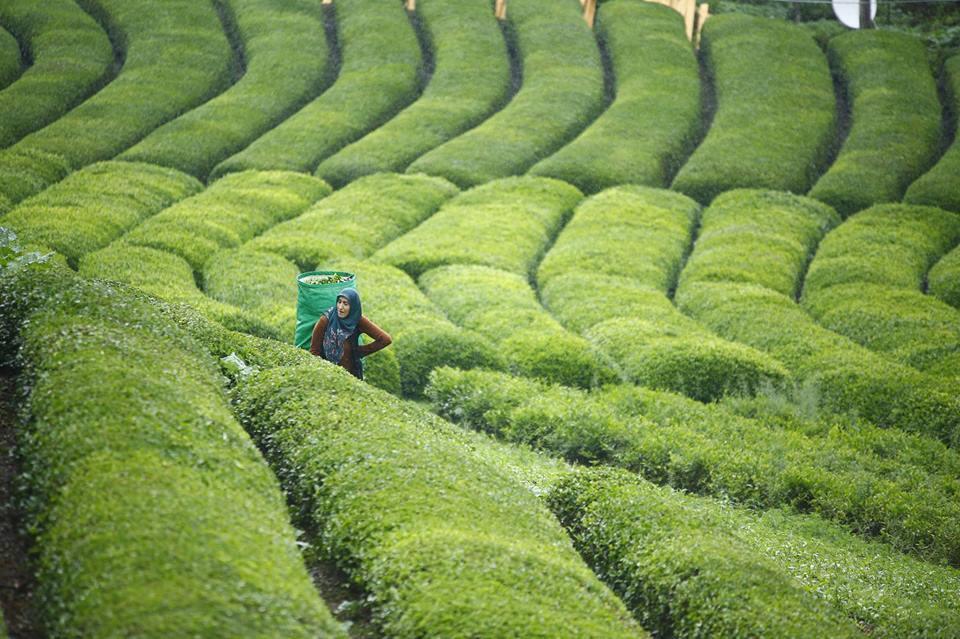 مزارع الشاي في تركيا